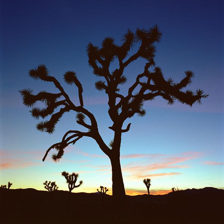 Joshua Tree, Joshua Tree National Forest, CA
