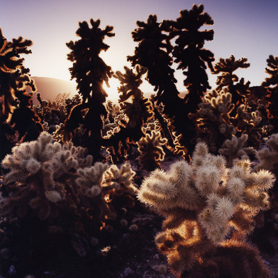 jumping-cholla-cactus-sunset-joshua-tree-national-forest-ca-8x8.jpg
