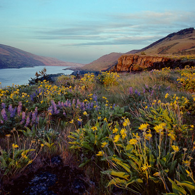 rowena-plateau-balsam-and-lupine-columbia-river-gorge-or-8x8.jpg