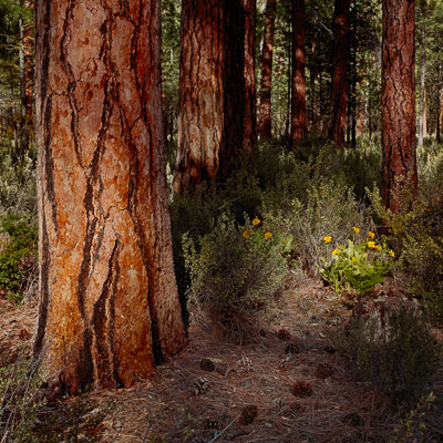 pondarosa-pines-and-balsam-along-the-metolius-river-central-or-8x8.jpg