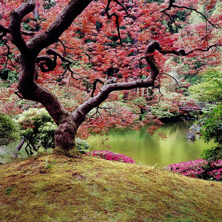 Portland Japanese Garden Maple